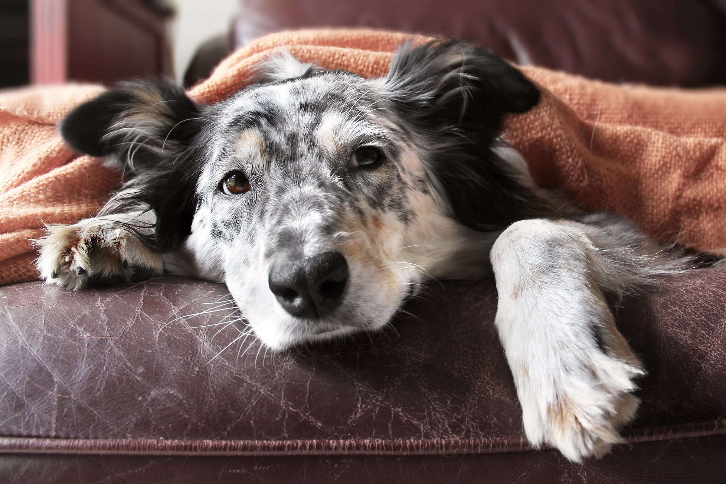 Kennel Cough Symptoms In Dogs – Common Signs of Bordetella